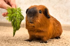 Feeding red Guinea pig with fresh dill. Red Guinea pig eats a sprig of dill from the hand of the owner stock photo