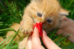Feeding the red kitten Royalty Free Stock Image