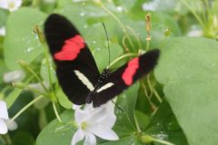 Feeding Red Postman Butterfly royalty free stock images