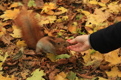FEEDING RED SQUIRREL FROM HAND Royalty Free Stock Images