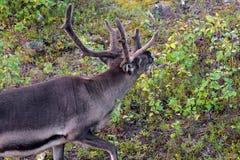 Feeding reindeer Stock Photography