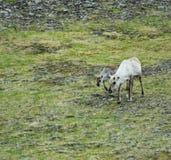 Feeding Reindeer Stock Photos