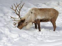 Feeding Reindeer. A Reindeer (Rangifer tarandus) feeding in the snow Royalty Free Stock Photos