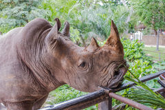 Feeding A Rhino, Open Zoo. Feeding A Rhino, Open Zoo In Thailand Royalty Free Stock Photography