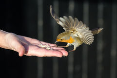 Feeding Robin. A robin takes food from a hand Royalty Free Stock Photos