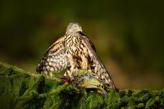Feeding scene with bird and catch. Goshawk on the tree. Hawk from Czech Reublic. Wildlife scene from nature. Bird behaviour. Bird. On tree royalty free stock images