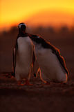 Feeding scene in the orange sunset. Young gentoo penguin beging food beside adult gentoo penguin. Young gentoo with parent. Open p Royalty Free Stock Images