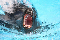 Sea lion catching a fish in aquarium Royalty Free Stock Images