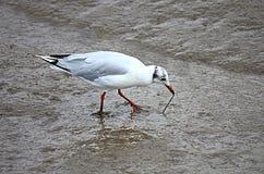 Free Feeding Seagull Stock Image - 10904601