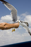 Feeding seagull Royalty Free Stock Photo