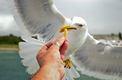 Feeding a seagull Stock Image