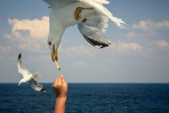 Free Feeding Seagull Royalty Free Stock Photography - 44040697