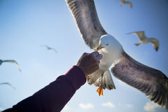 Feeding Seagull / Consept Royalty Free Stock Photos