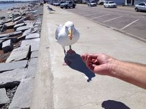 Feeding a seagull Royalty Free Stock Photo