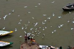 Feeding seagull Stock Image