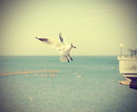 Free Feeding Seagull; Retro Old Style Toned Picture Royalty Free Stock Image - 51188826