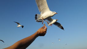 Feeding seagull Royalty Free Stock Photography