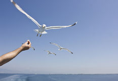 Feeding seagulls Royalty Free Stock Photo