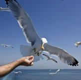 Feeding seagulls Royalty Free Stock Photos