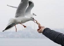 Free Feeding Seagulls Stock Photos - 27683593