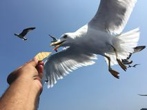 Feeding seagulls Royalty Free Stock Images