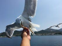 Feeding seagulls Royalty Free Stock Images