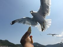 Feeding seagulls royalty free stock photo