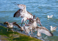 Feeding seagulls Stock Photography