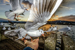 Feeding Seagulls. Man feeds seagull at the sunset time Stock Image