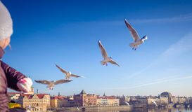Feeding seagulls, Prague, Czech Republic Royalty Free Stock Images