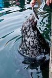 Feeding seal royalty free stock images