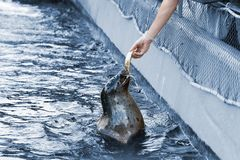 Feeding a seal. A person feeding fish to seal Stock Images