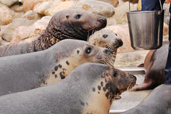 Feeding the seals. Four hungry seals are waiting for their food to come out from the bucket Royalty Free Stock Photos