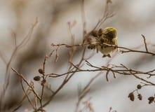 Feeding Sering bird Stock Photography