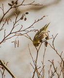 Feeding Sering bird Royalty Free Stock Photos