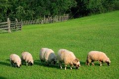 Feeding sheep Stock Images