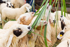 Free Feeding Sheep Stock Image - 32968741