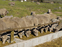 Feeding Sheep. Sheep feeding in the crypt with a few lambs around Royalty Free Stock Photo
