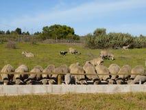 Feeding Sheep Royalty Free Stock Image
