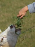 Feeding sheep Royalty Free Stock Photography