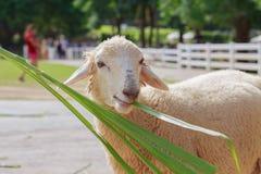 Feeding the sheep Royalty Free Stock Photo