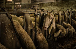 Feeding sheep in a farm.  Stock Photo