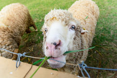 Feeding sheep. Sheep in the farm and eating the grass Royalty Free Stock Image