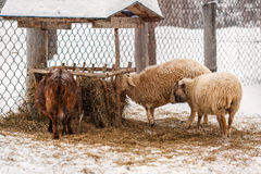 Feeding of sheep on the farm in Russia. Village Visim in Sverdlovsk region. Sheep are eating hay on the farm near the village Visim in Sverdlovsk region in the Royalty Free Stock Images