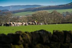 Feeding the sheep. A farmer on a quad bike feeding sheep supplements in a grassy field in south west Scotland stock photography