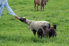 Feeding sheep by hand Royalty Free Stock Image