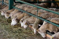 Sheep for breeding stock images