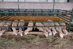 Sheep in the pen stock photography