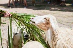 Feeding the sheep Royalty Free Stock Photos