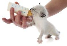 Feeding siamese kitten Stock Photography